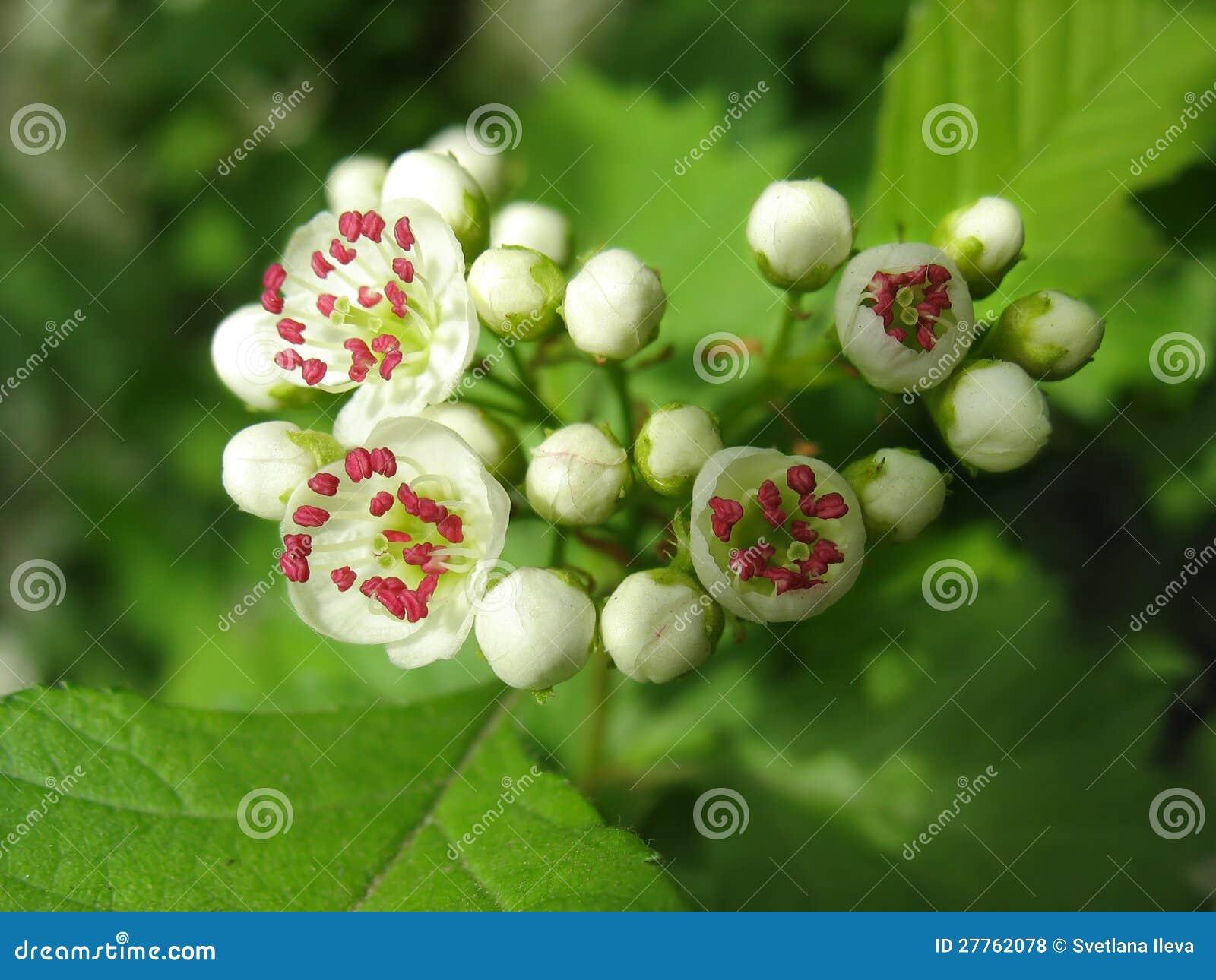 Fleurs de fonte d aubépine avec l étamine rouge