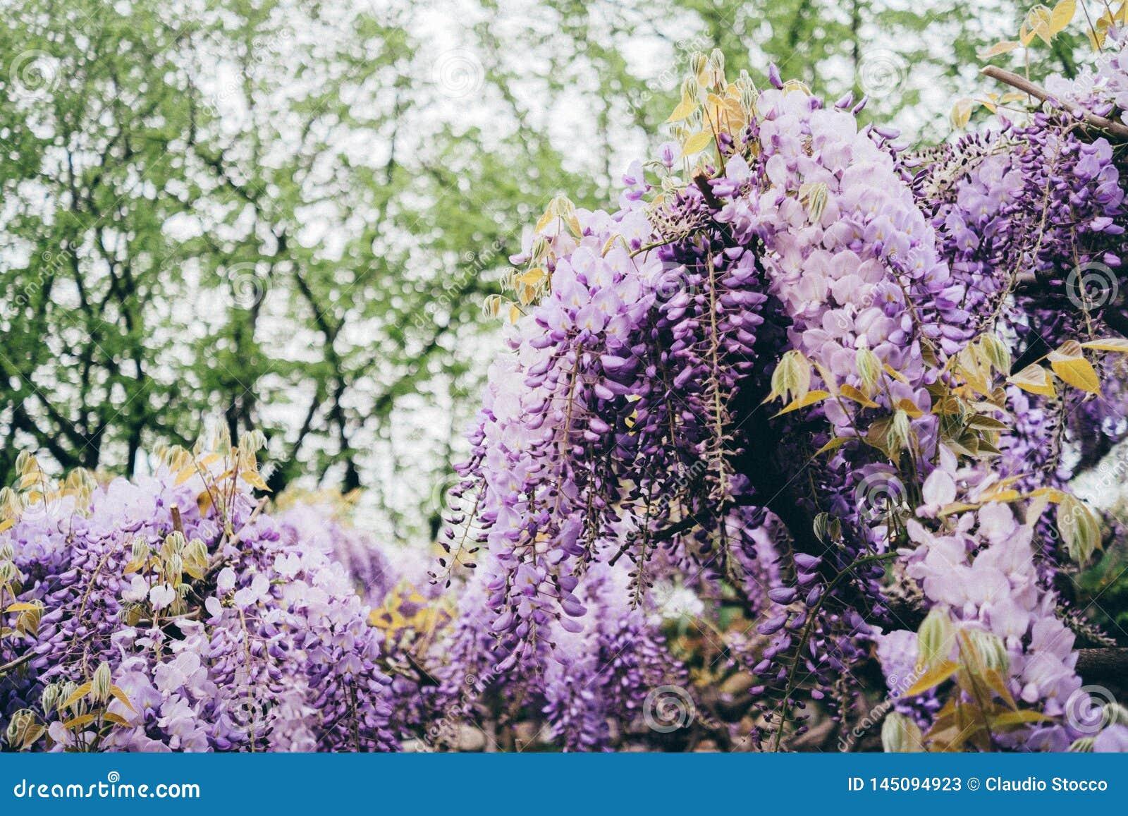 Fleurs de glycine pendant la floraison de ressort