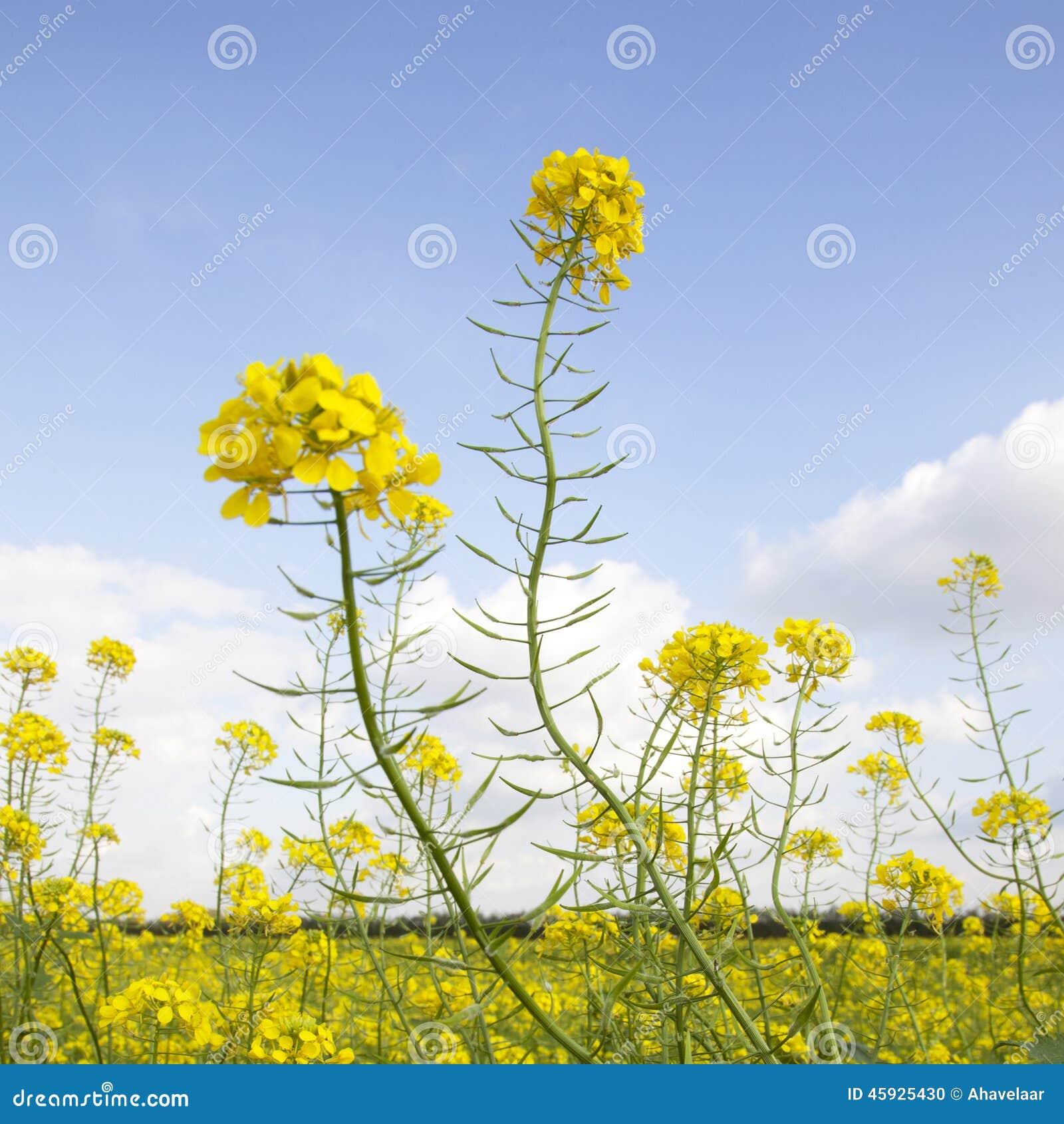fleurs de graine de moutarde jaune dans le domaine photo stock image 45925430. Black Bedroom Furniture Sets. Home Design Ideas