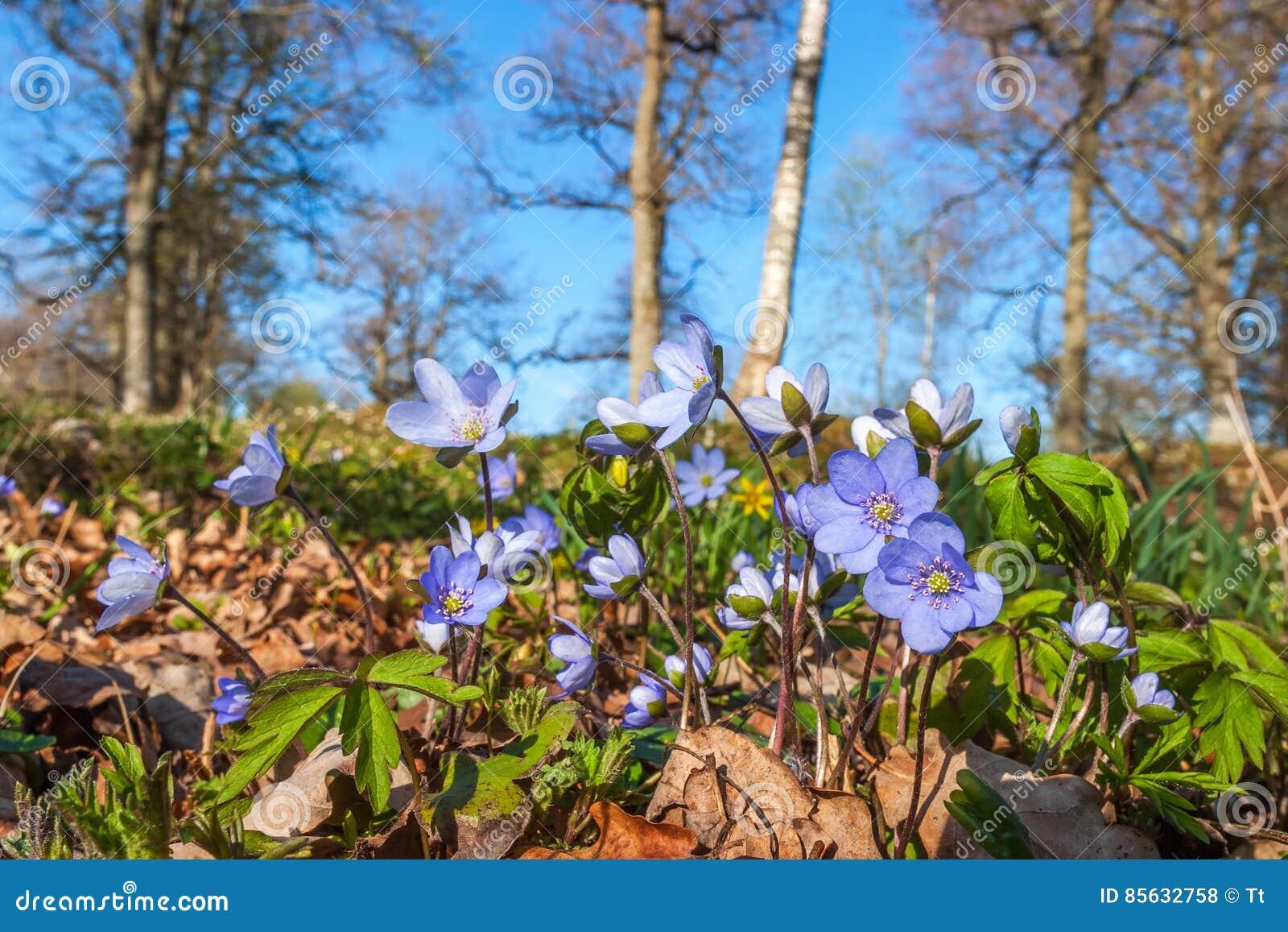 Fleurs de hepatica d anémone