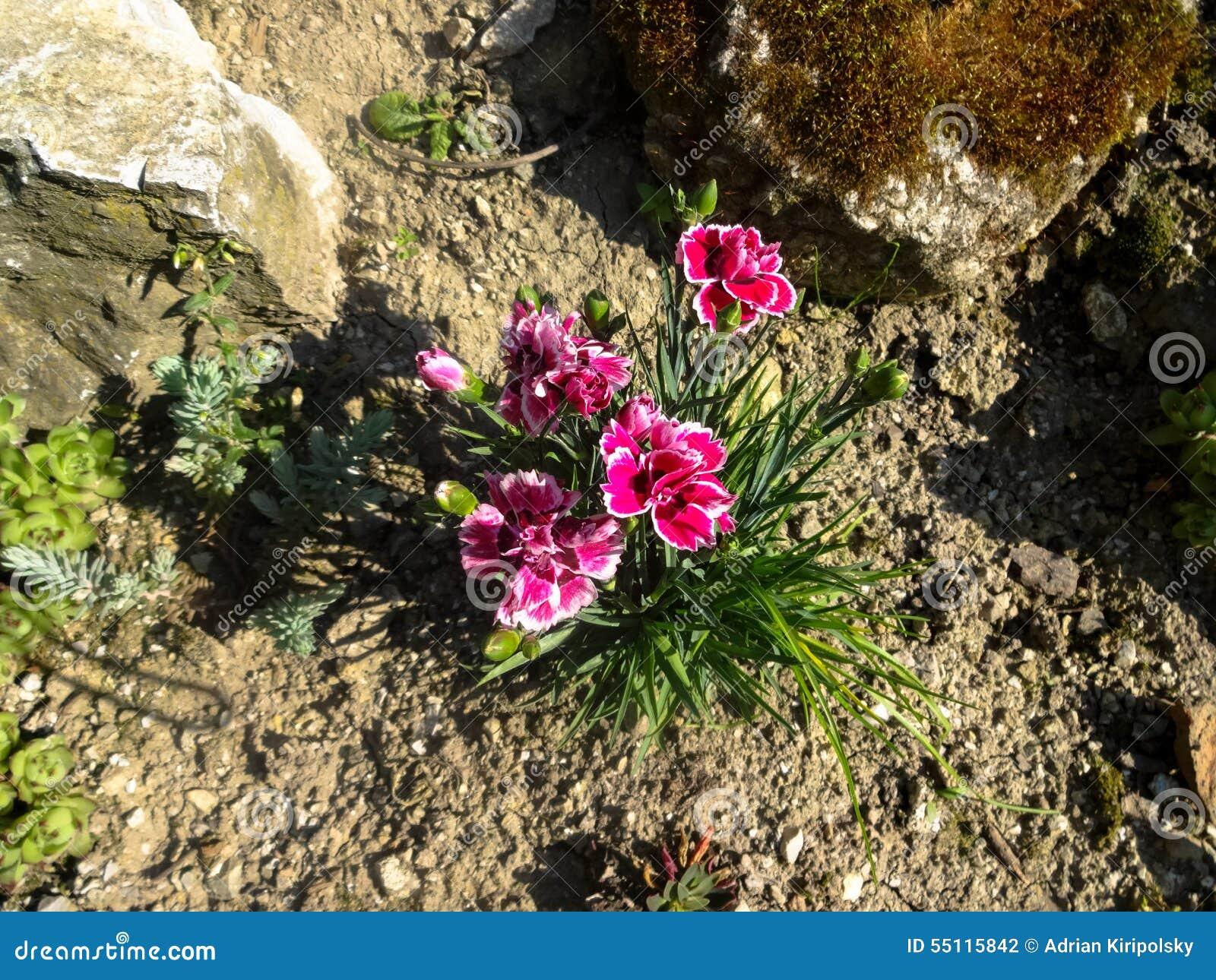 Fleurs De Jardin De Rocaille Photo stock - Image: 55115842