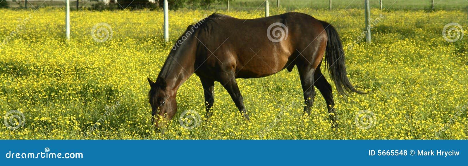 Fleurs de jaune de cheval de Brown