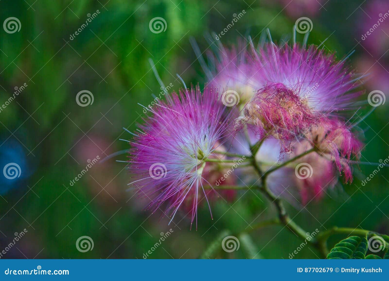 Fleurs de julibrissin d Albizia