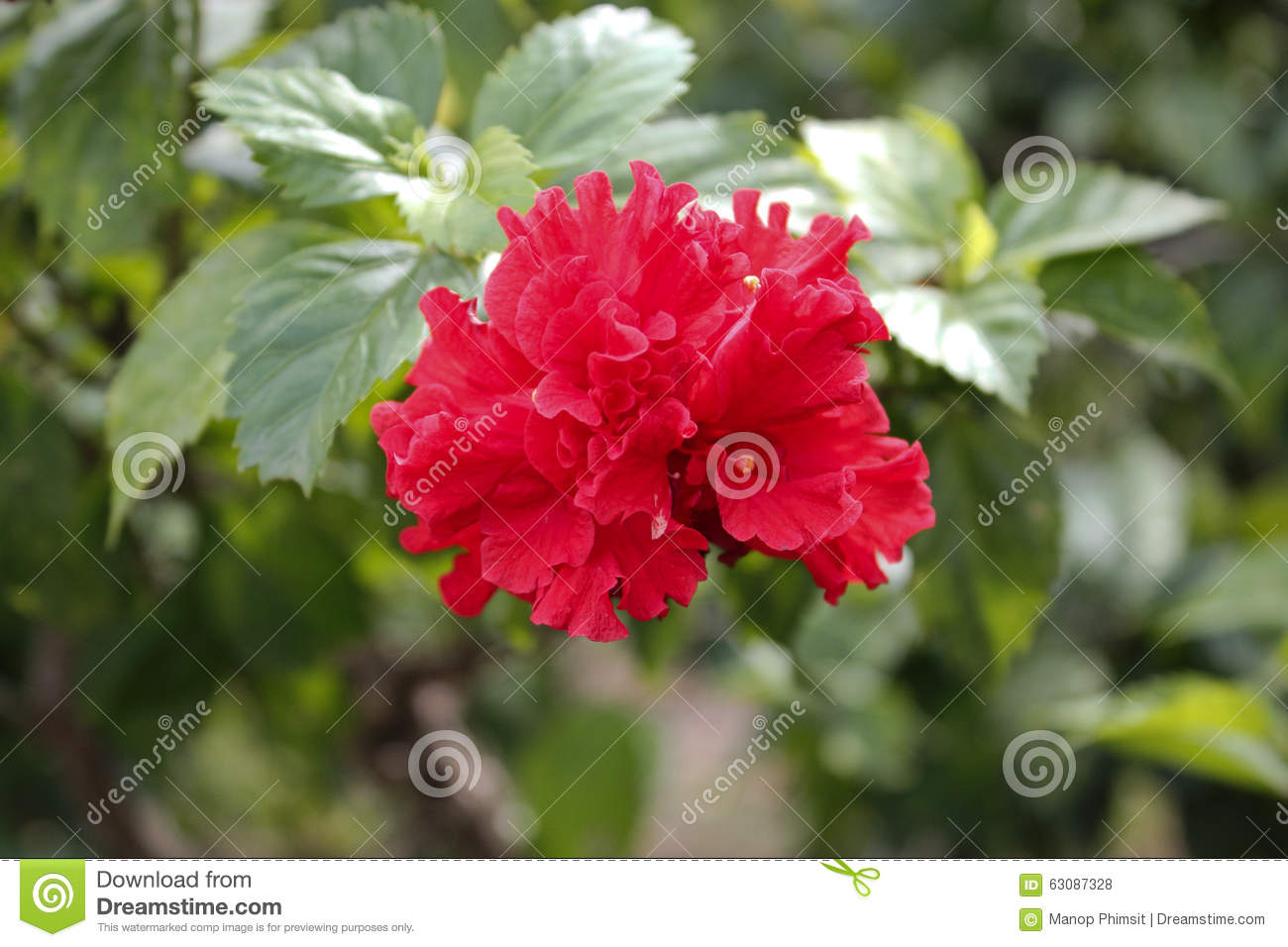 Download Fleurs de ketmie photo stock. Image du fleur, ketmie - 63087328