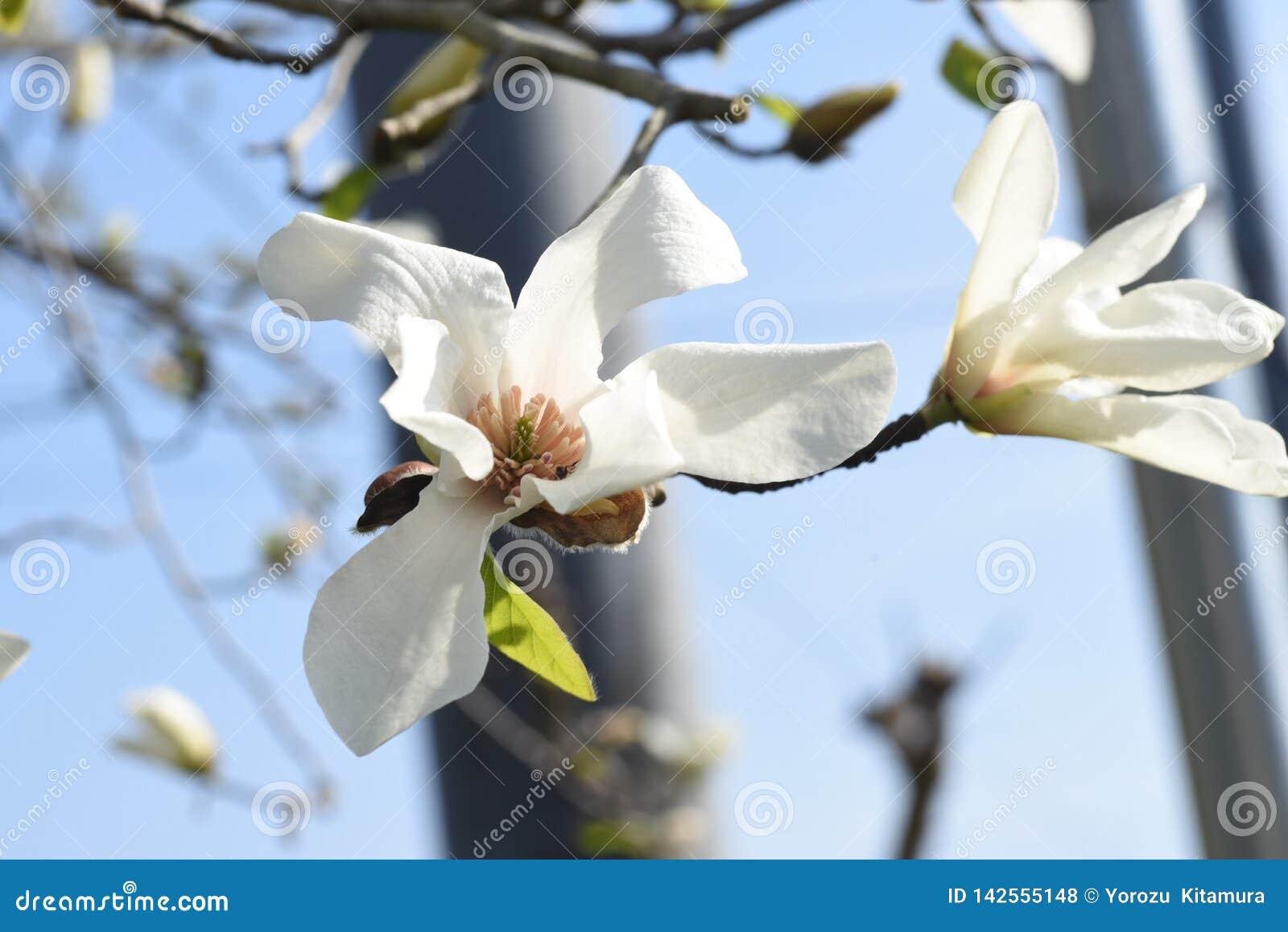 Fleurs de kobus de magnolia