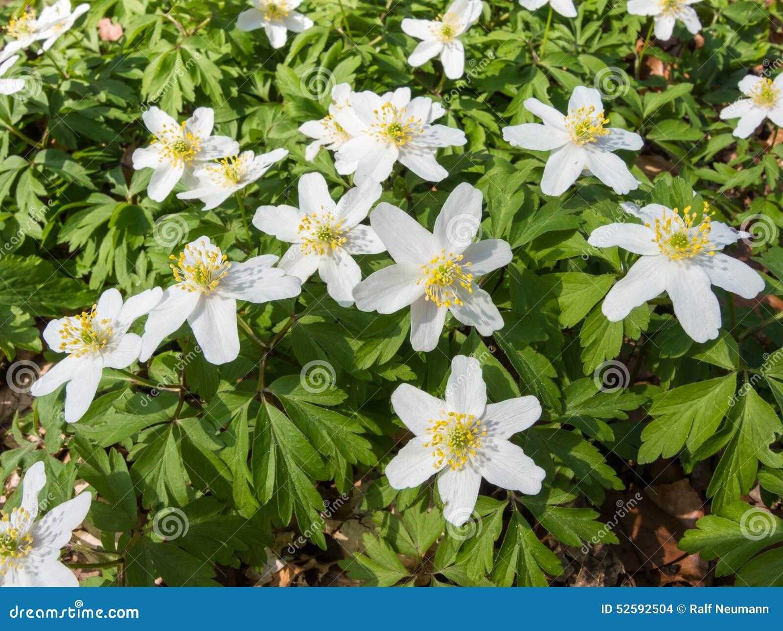 fleurs de l 39 an mone en bois au printemps photo stock image 52592504. Black Bedroom Furniture Sets. Home Design Ideas