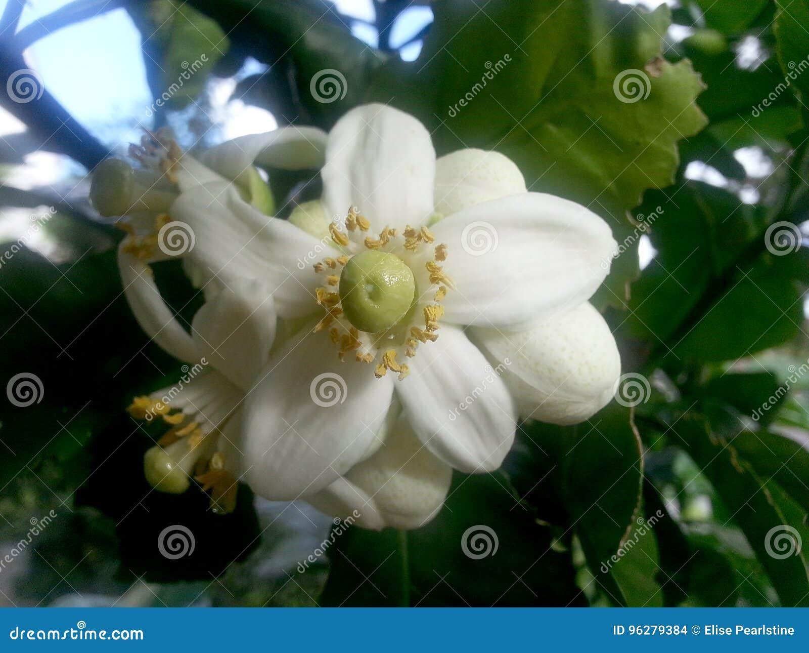 Fleurs de l arbre de pamplemousse qui produira de grands agrumes comme le pamplemousse