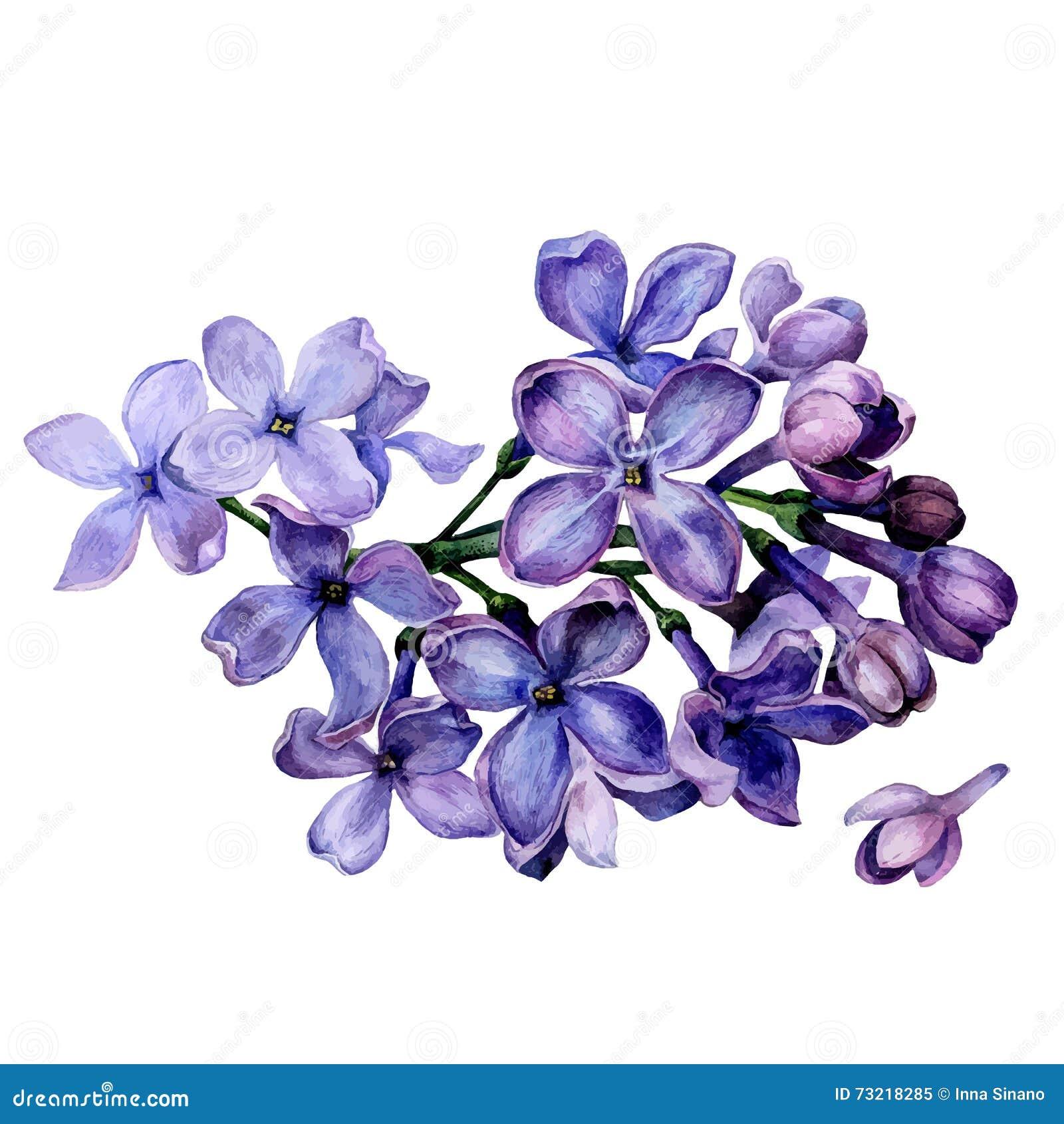 Fleurs de lilas d 39 aquarelle illustration de vecteur for Bouquet de fleurs lilas