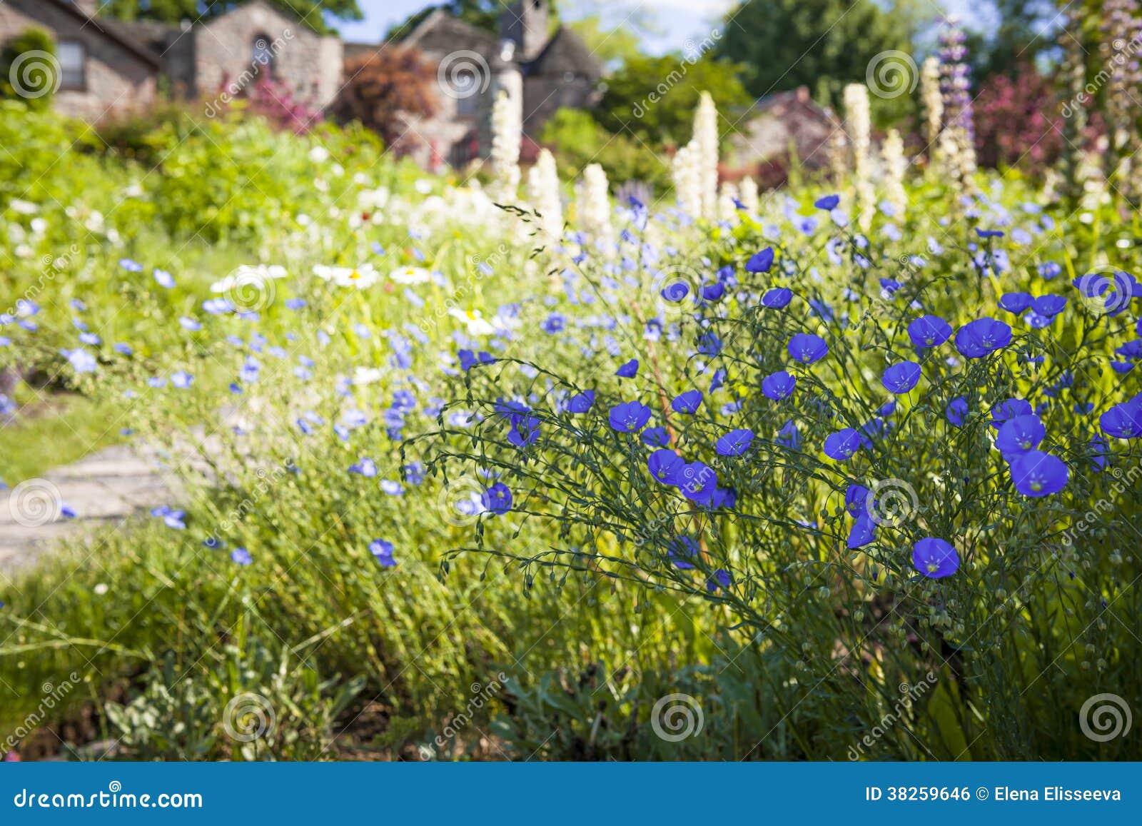 Fleurs de lin dans le jardin d 39 t photo stock image for Dans le jardin