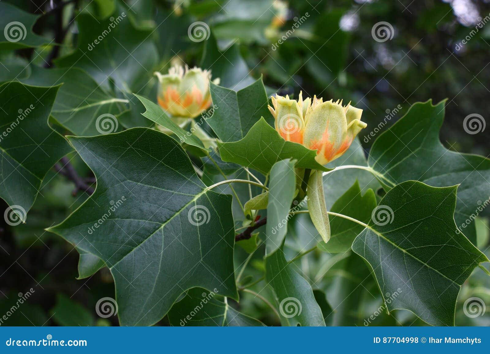 Fleurs de Liriodendron