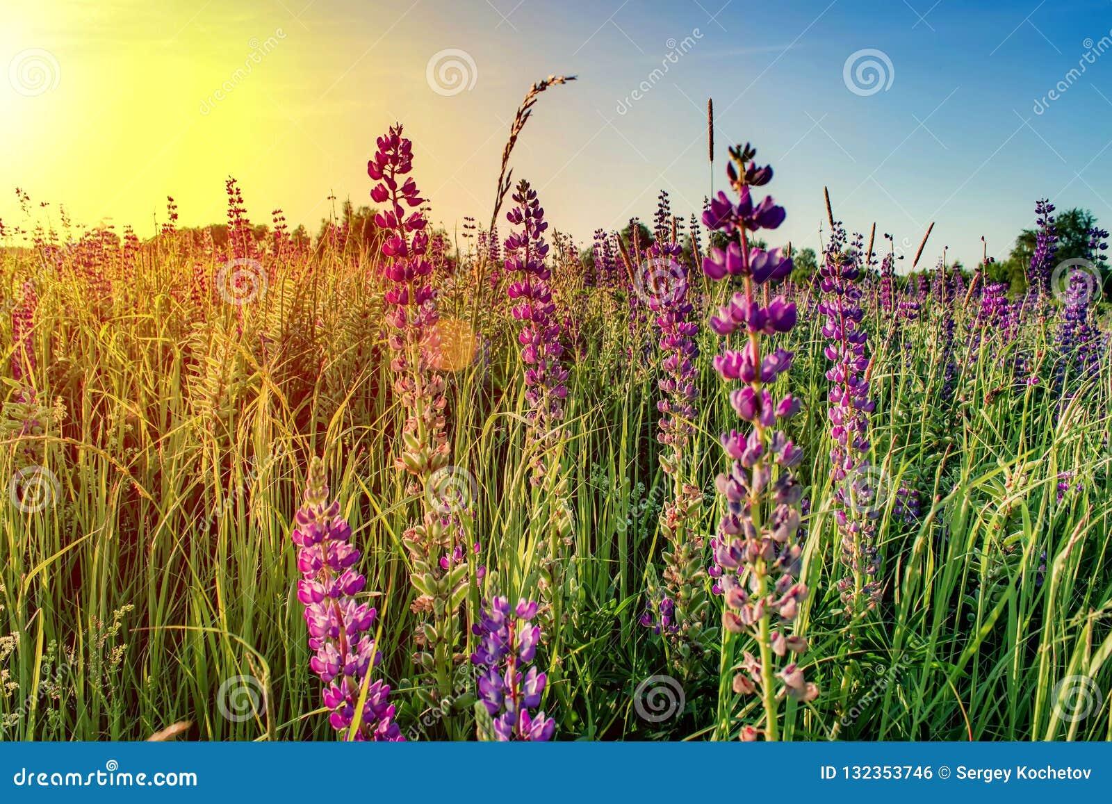 Fleurs de lupin avec le Soleil Levant dessus contre le ciel bleu Fond d été