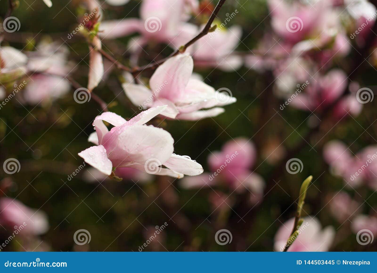 Fleurs de magnolia sur une branche en premier ressort