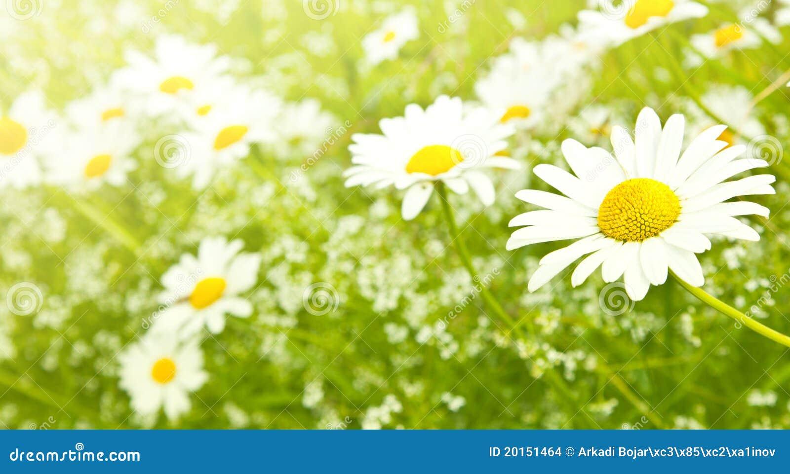 Fleurs de marguerite de zone