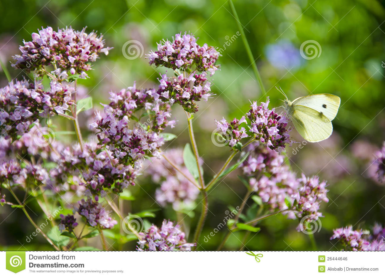 fleurs de marjolaine sauvage dans le jardin et le guindineau image libre de droits image 26444646. Black Bedroom Furniture Sets. Home Design Ideas