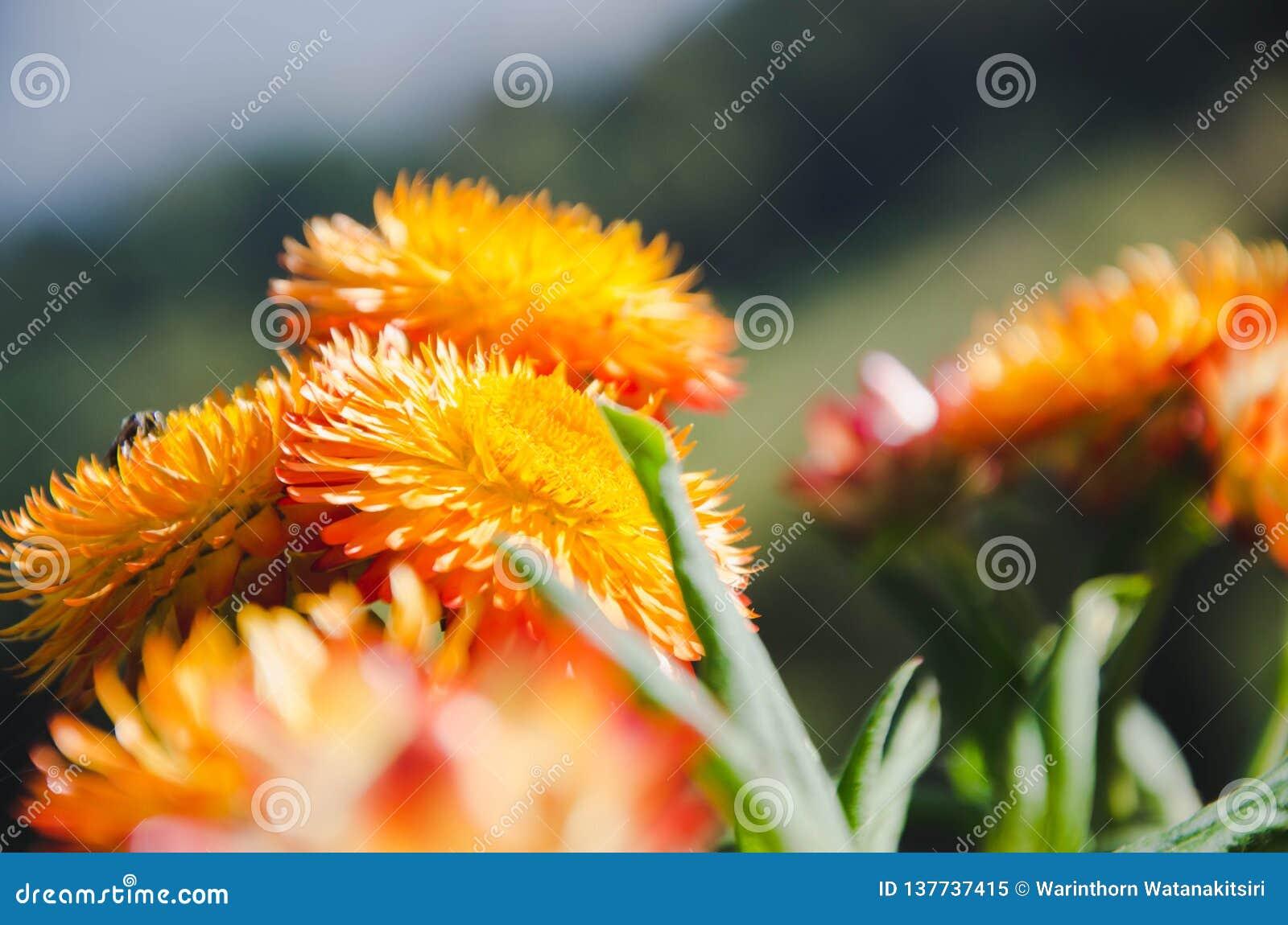 Fleurs de matin sur la montagne