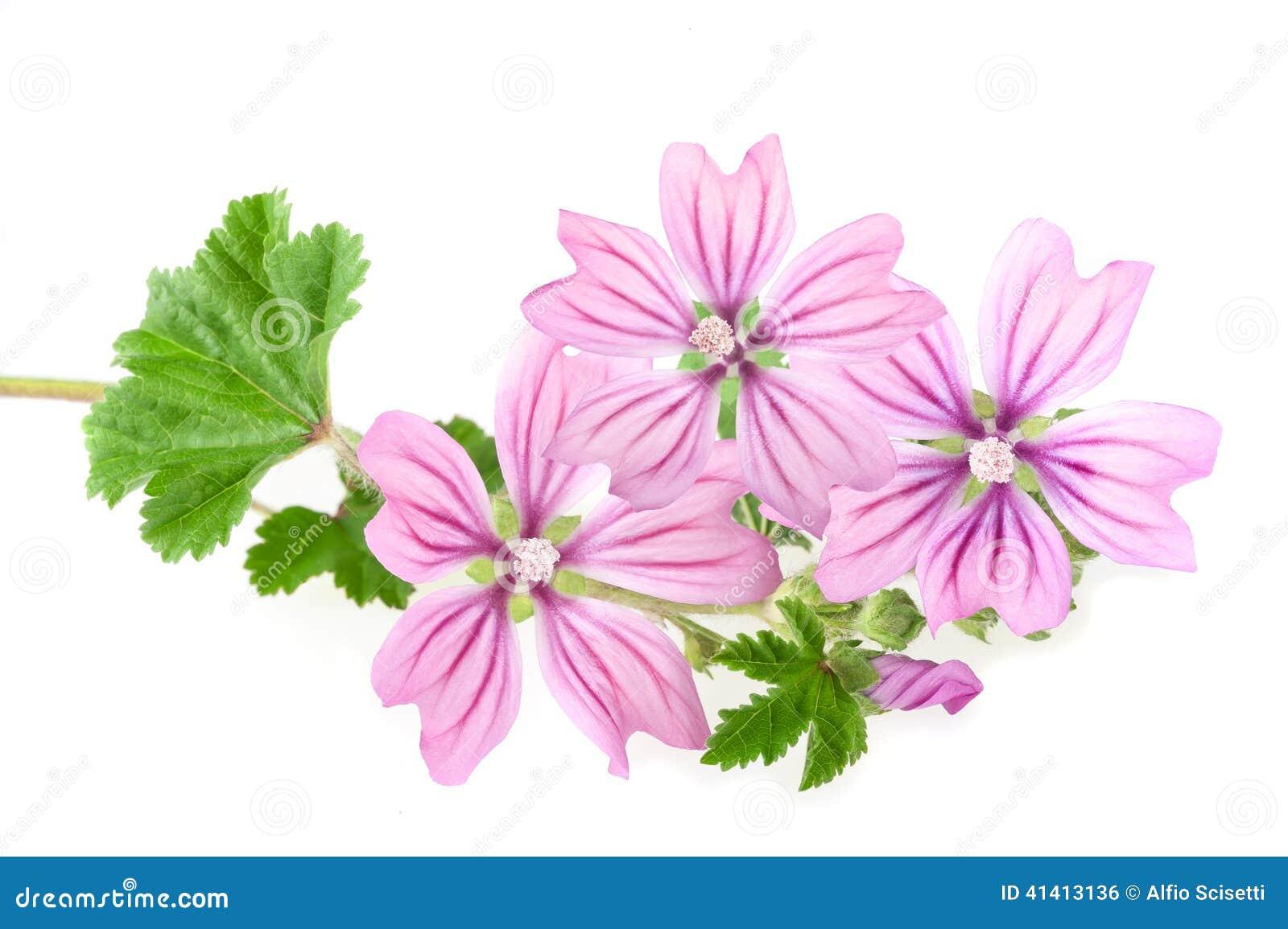 Fleurs de mauve