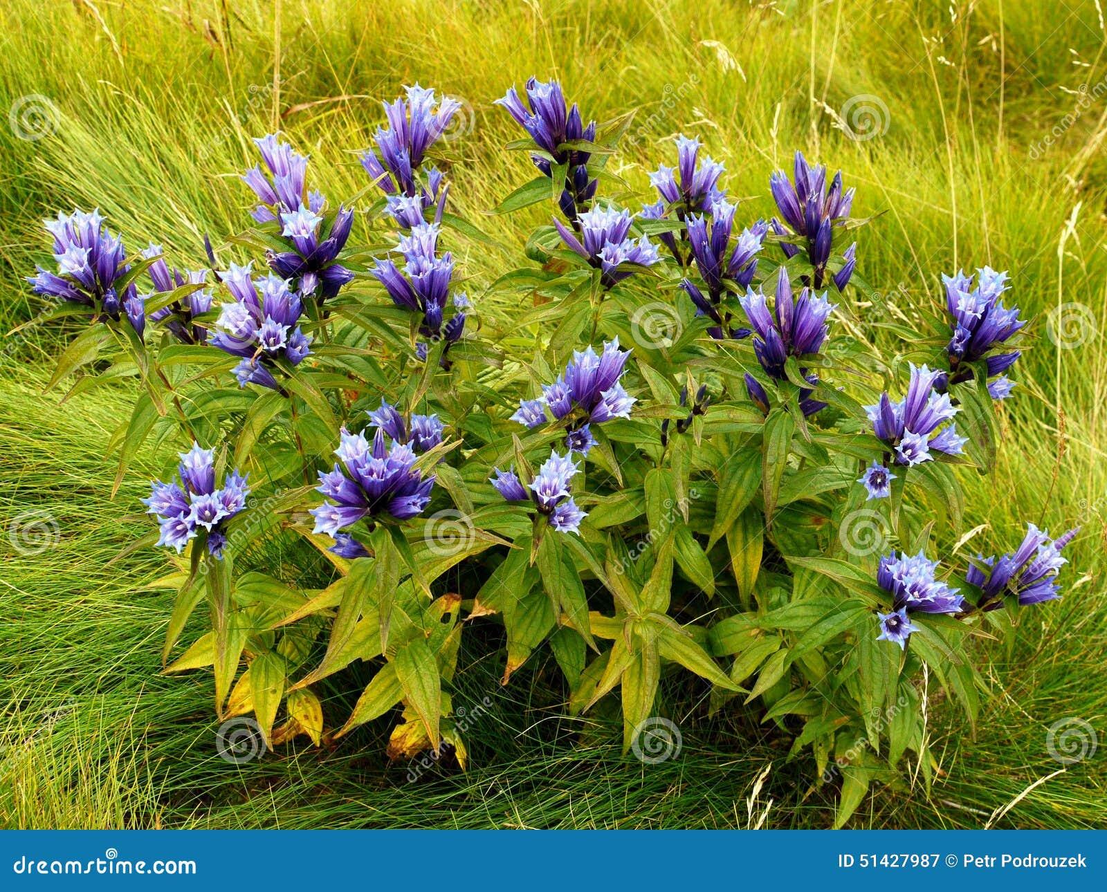 Fleurs de montagne gentiane image stock image du flore vert 51427987 - Coloriage fleur gentiane ...