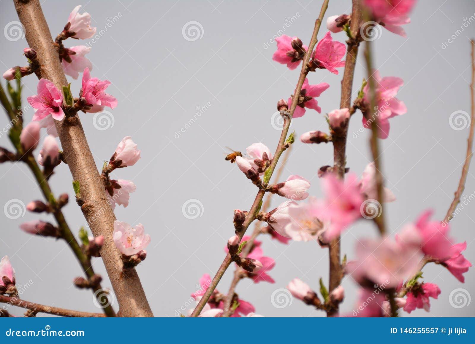 Fleurs de p?che dans P?kin au printemps
