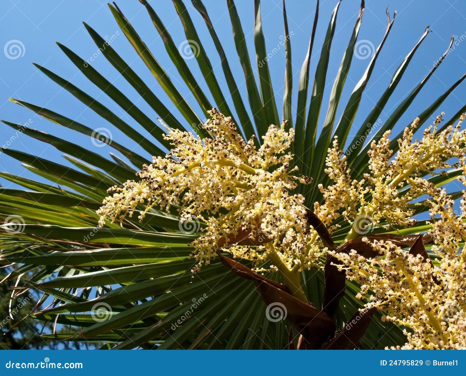 fleurs de palmier image stock image du paume fleur 24795829. Black Bedroom Furniture Sets. Home Design Ideas