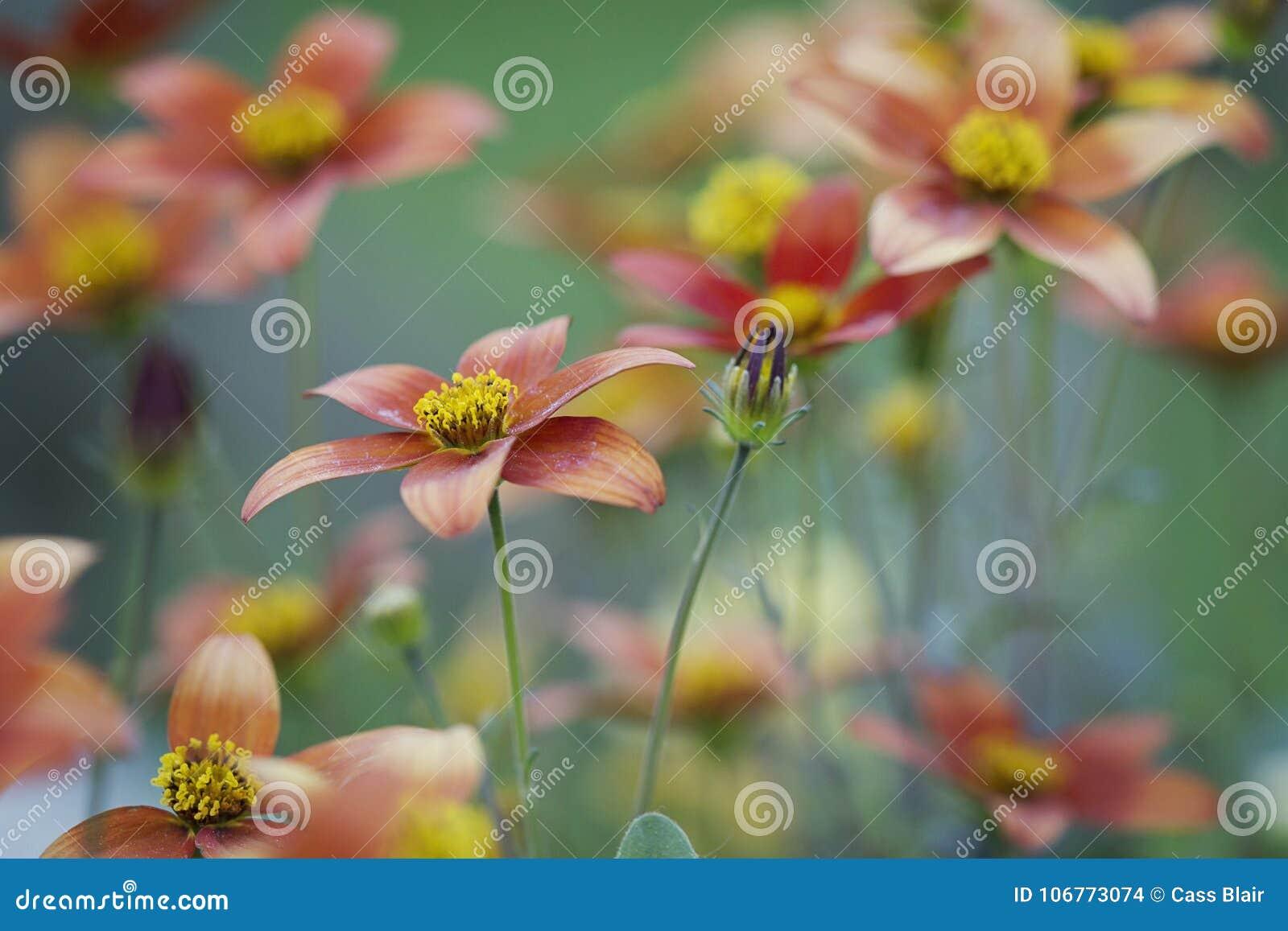 Fleurs de panier accrochantes oranges et plan rapproché jaune