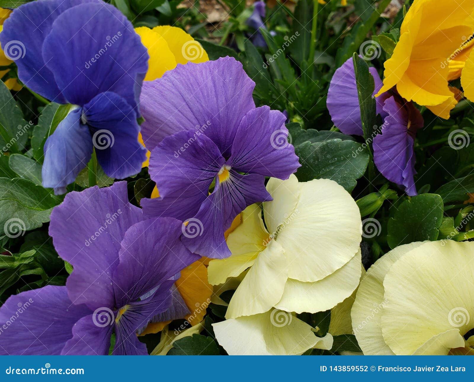 Fleurs De Pensée Dans Un Jardin Dans La Saison D\'hiver Photo ...