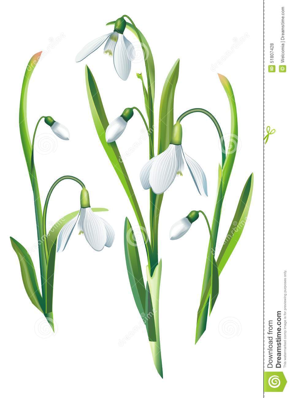 Fleurs De Perce Neige D Isolement Illustration Stock Illustration
