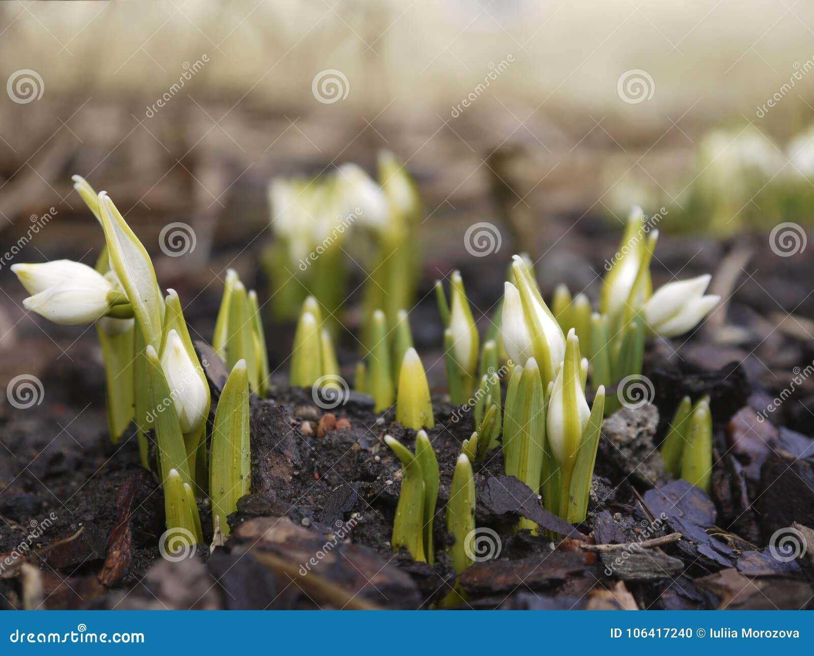Fleurs de perce-neige en premier ressort