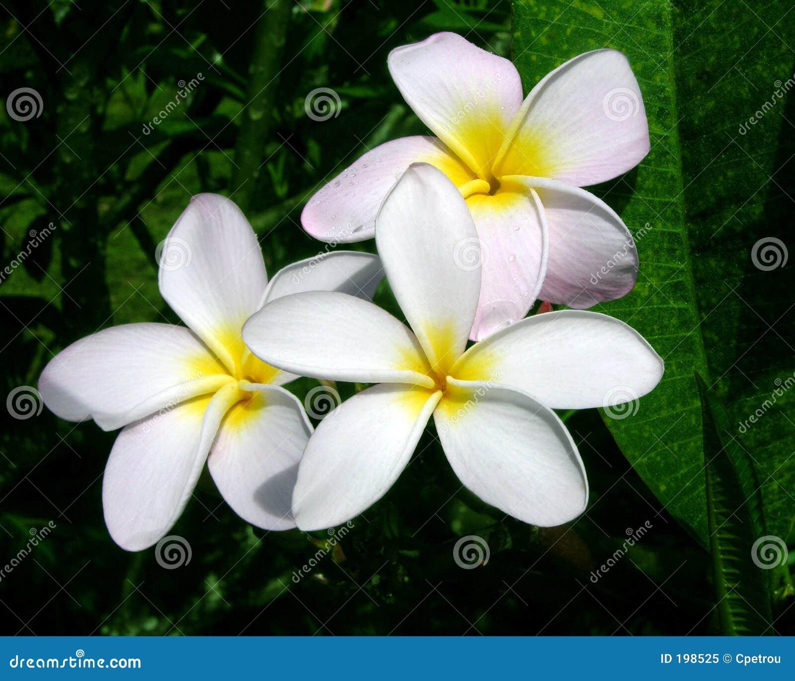 Fleurs de Plumeria