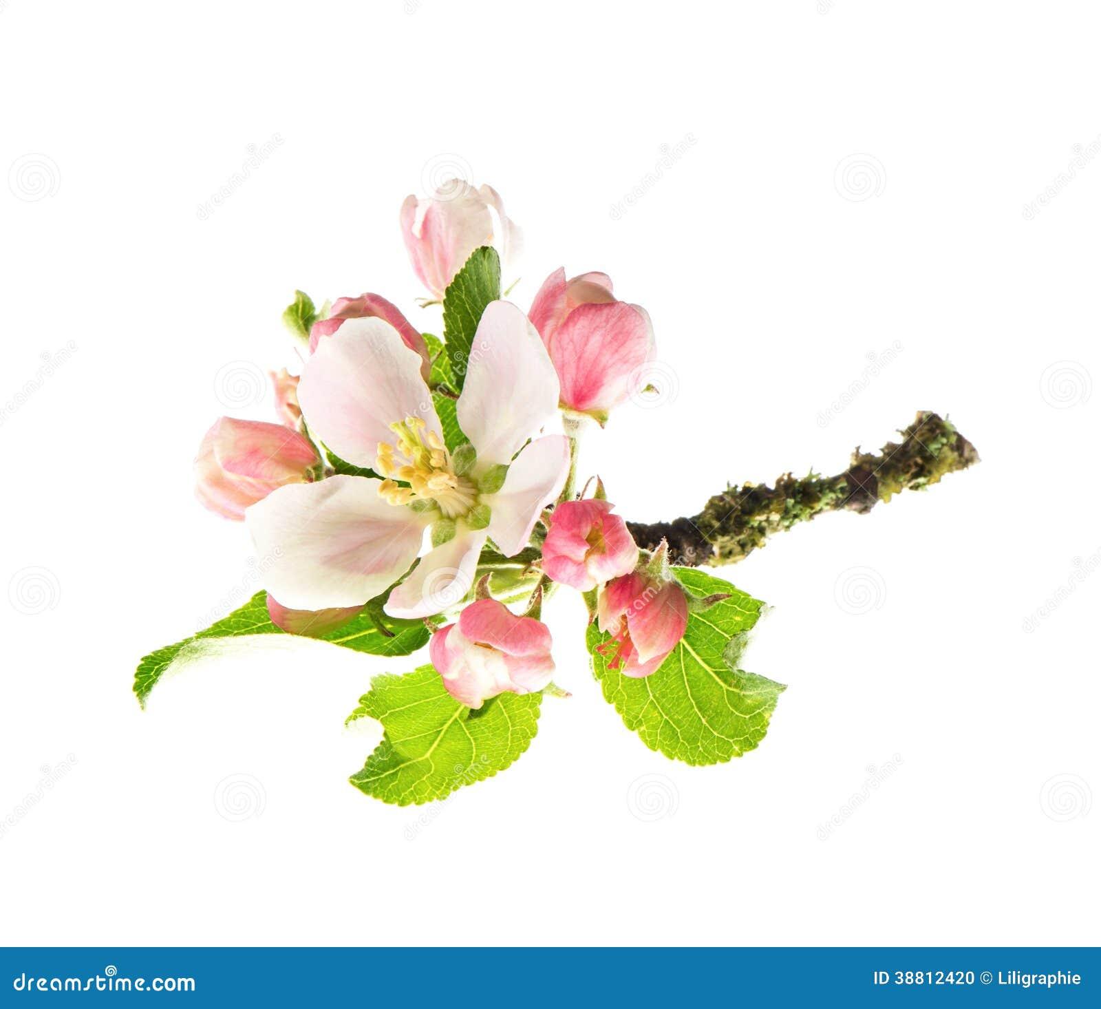 fleurs de pommier d 39 isolement sur le fond blanc photo stock image 38812420. Black Bedroom Furniture Sets. Home Design Ideas