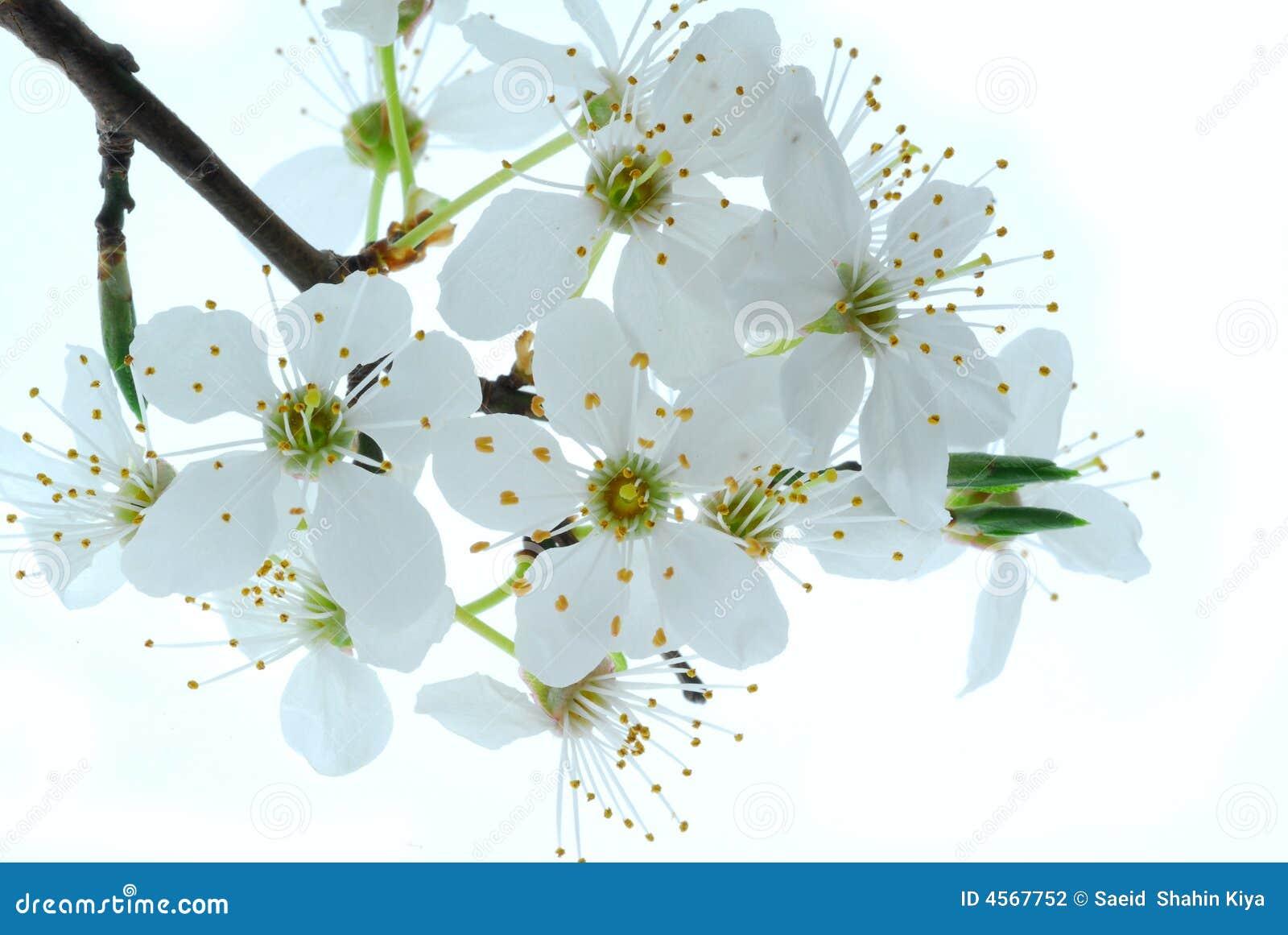 fleurs de printemps sur l 39 arbre photo stock image du fleurs flore 4567752. Black Bedroom Furniture Sets. Home Design Ideas