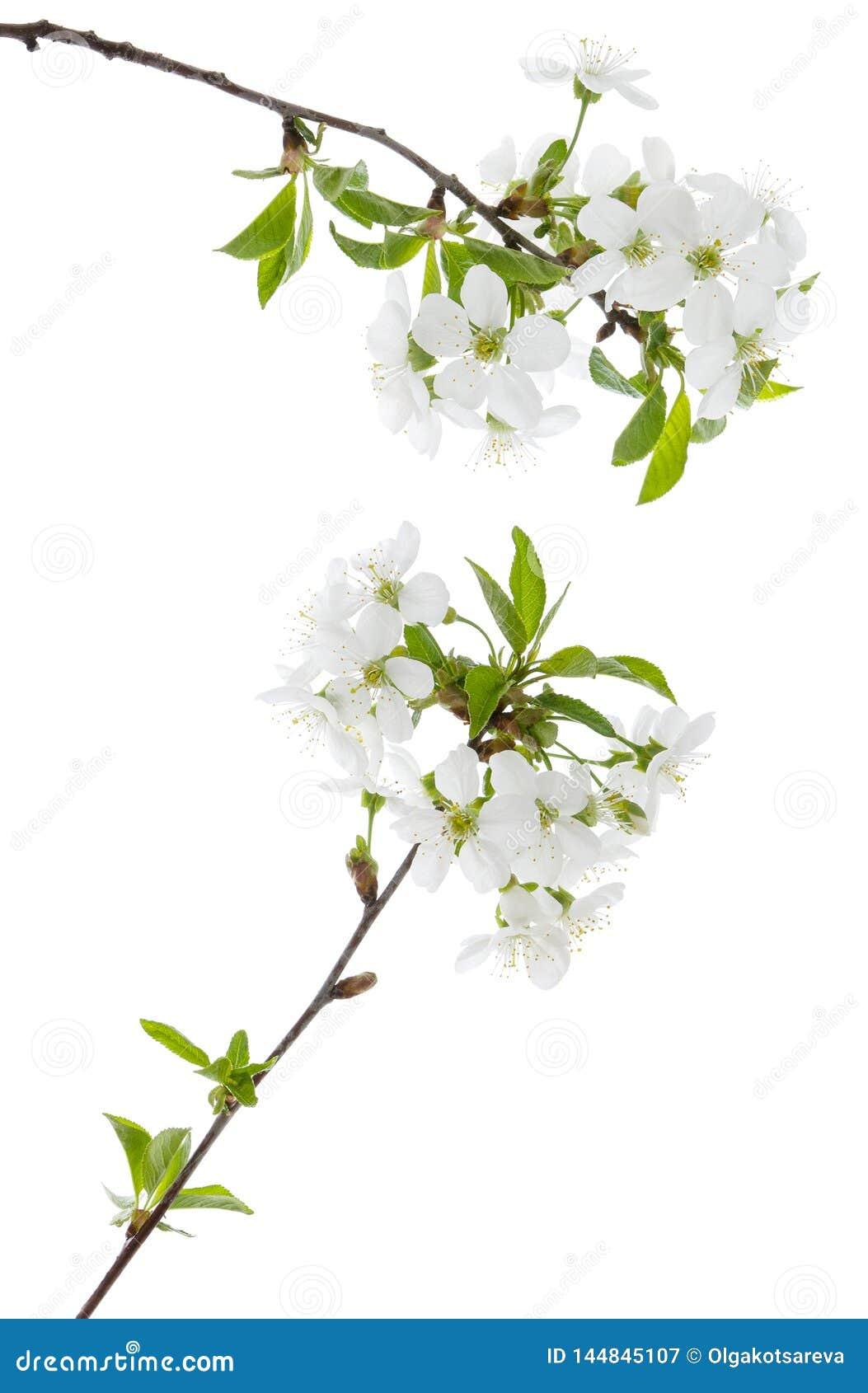 Fleurs de ressort de cerise avec les feuilles vertes sur la branche d arbre d isolement sur le fond blanc