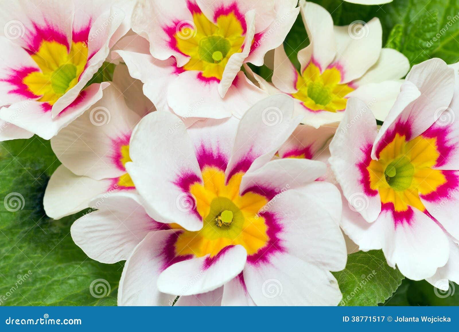 fleurs de ressort de fin colorée de primevère photographie stock