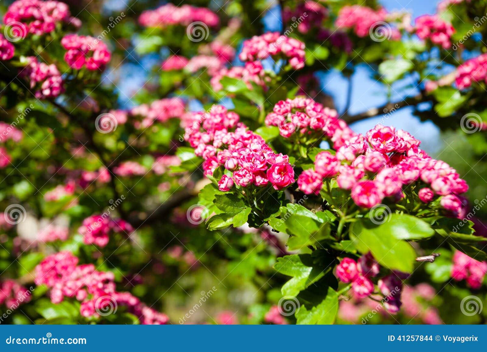 fleurs de rose de bloosoming d 39 arbre d 39 aub pine photo stock image 41257844. Black Bedroom Furniture Sets. Home Design Ideas