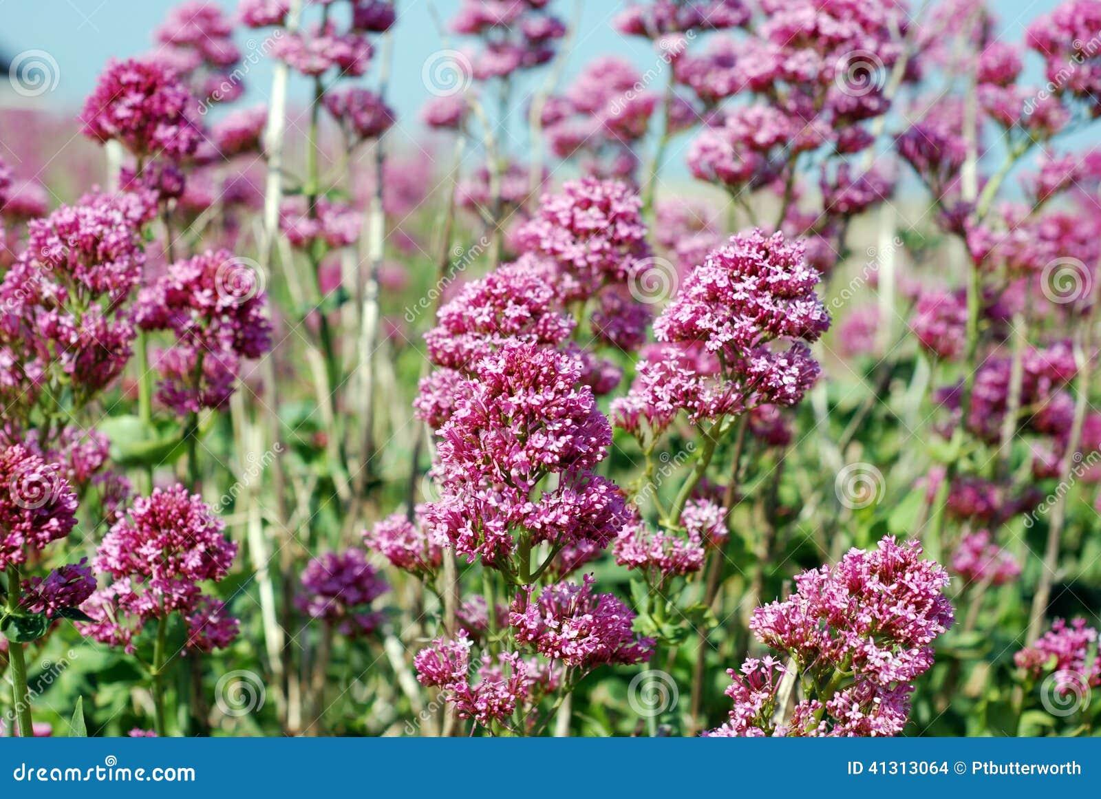 fleurs de rose sauvage au bord de la mer photo stock - image: 41313064