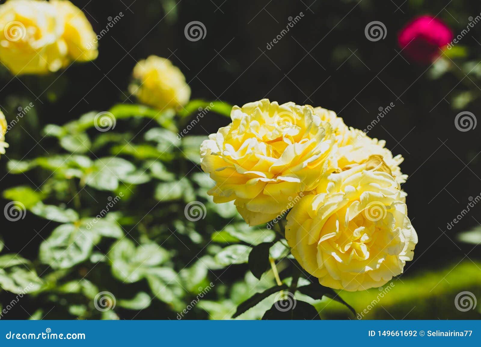Fleurs de roses jaunes et fond vert de feuilles en soleil Copiez l espace