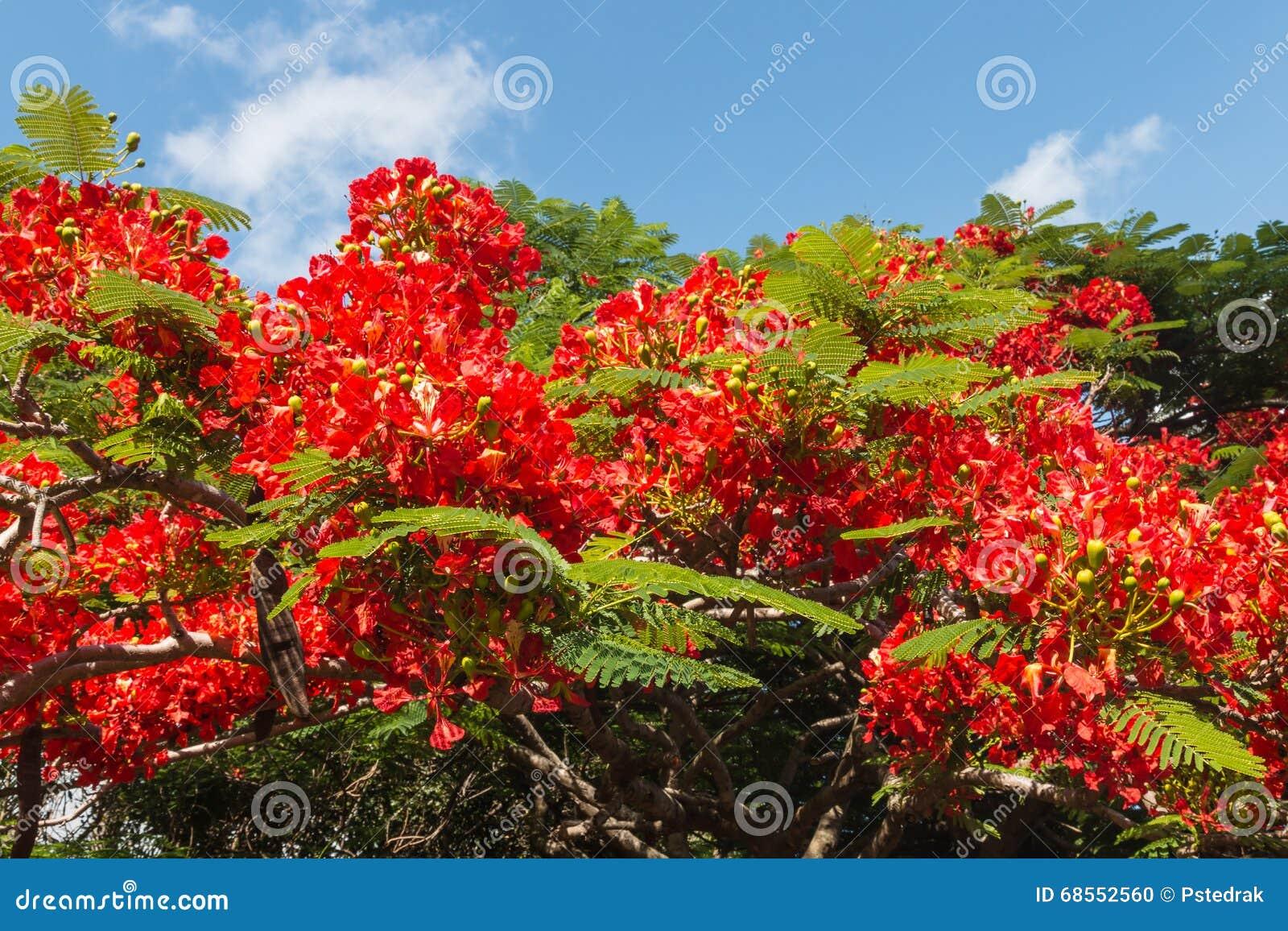 Fleurs de rouge d 39 arbre d 39 acacia photo stock image du rouge fleur 68552560 - Arbres a fleurs rouges ...