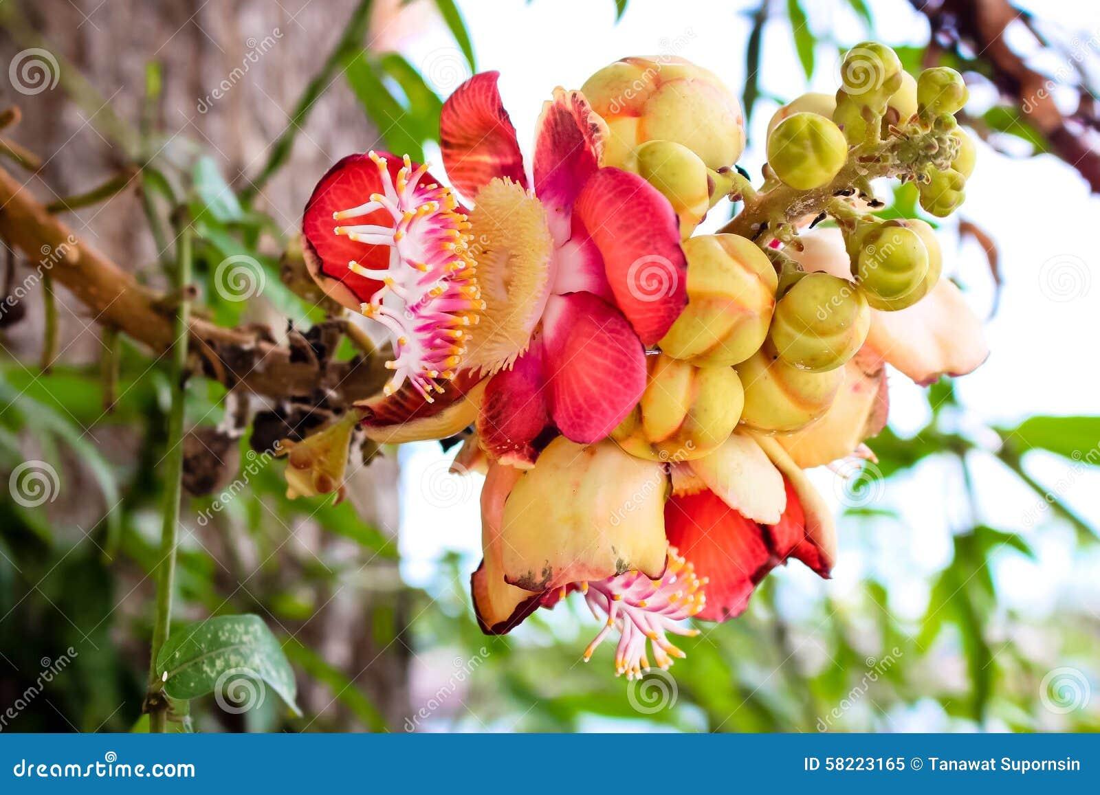 Fleurs De Rouge De Boule De Canon Image Stock Image Du Bille
