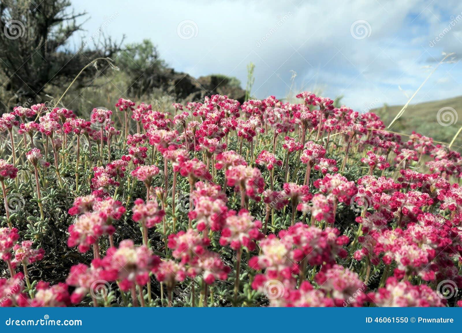 fleurs de sarrasin de thym photo stock image 46061550. Black Bedroom Furniture Sets. Home Design Ideas