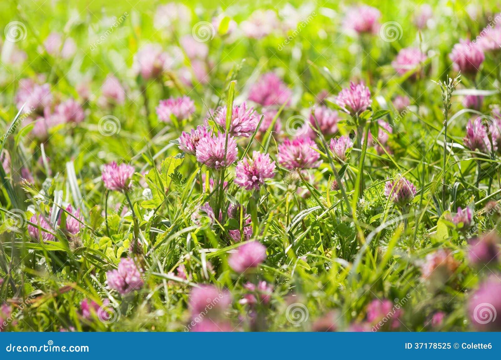 fleurs de tr fle violet sur un champ photo libre de droits. Black Bedroom Furniture Sets. Home Design Ideas