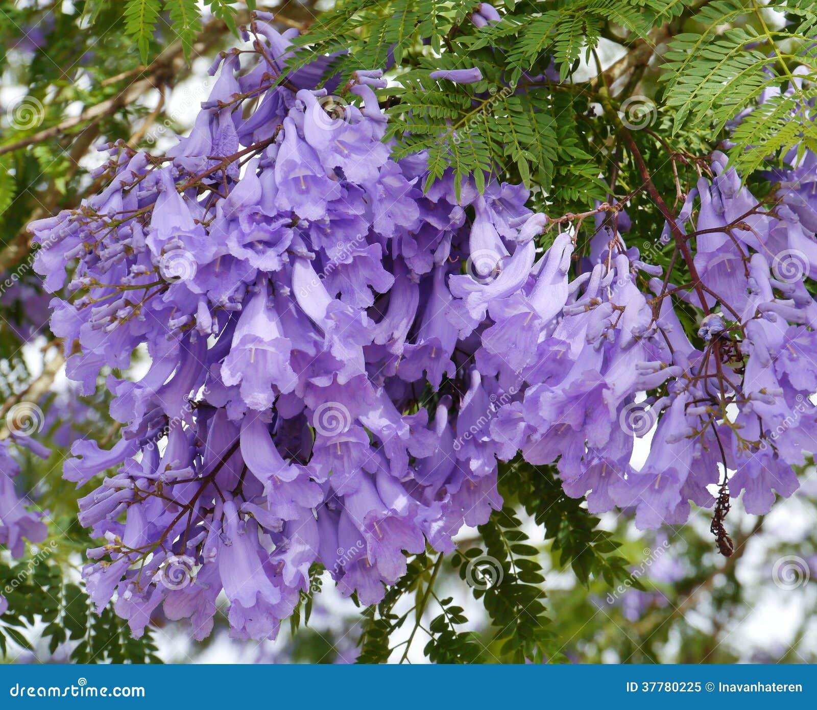 Fleurs De Trompette Violettes Dans Un Arbre Photo libre de droits - Image: 37780225