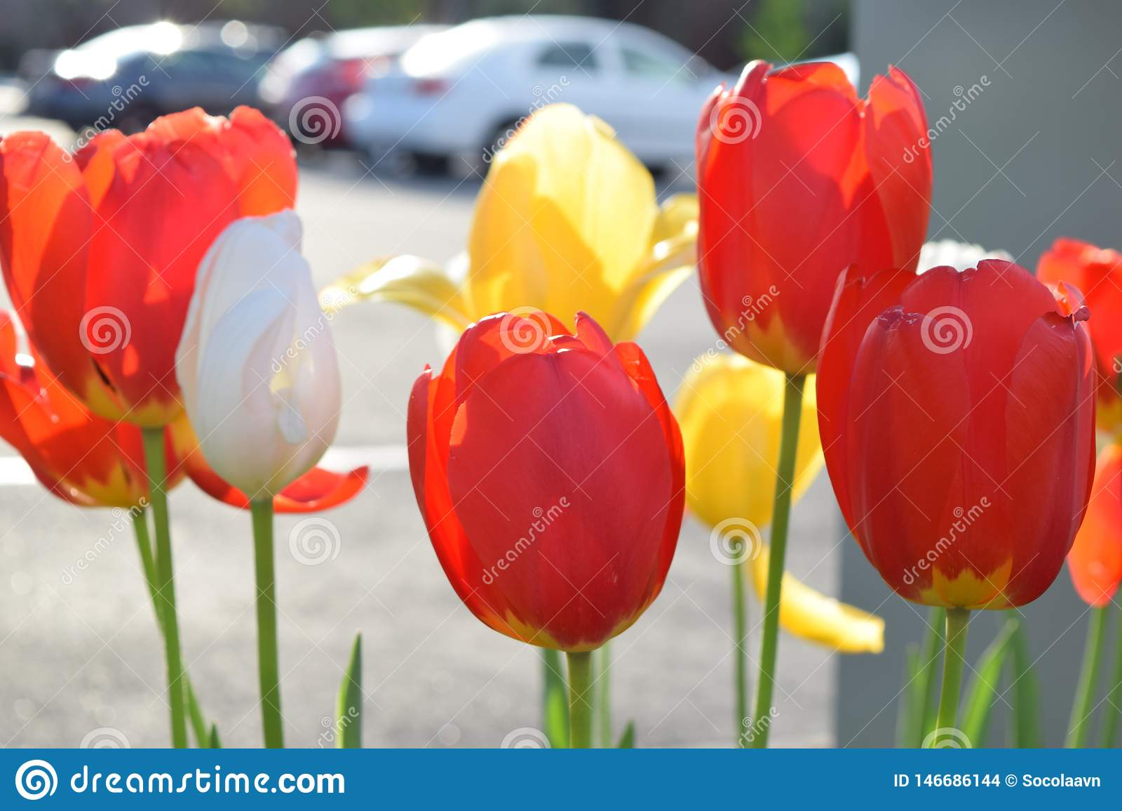 Fleurs de tulipe au printemps