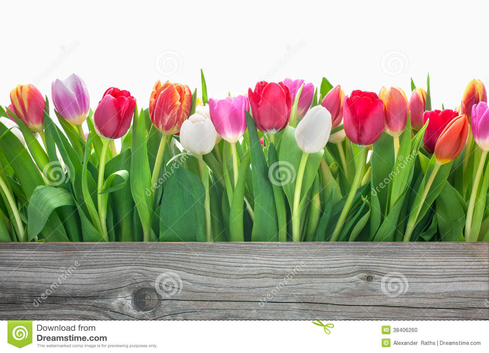 Fleurs de tulipes de ressort