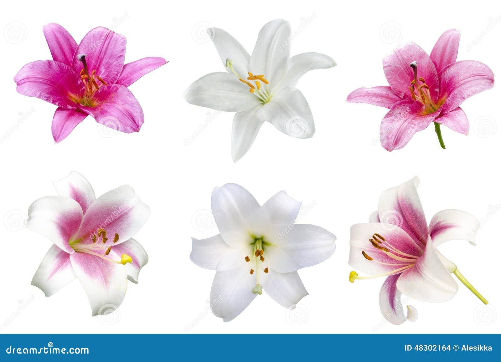 fleurs de vari t s de lis photo stock image du couleur 48302164. Black Bedroom Furniture Sets. Home Design Ideas