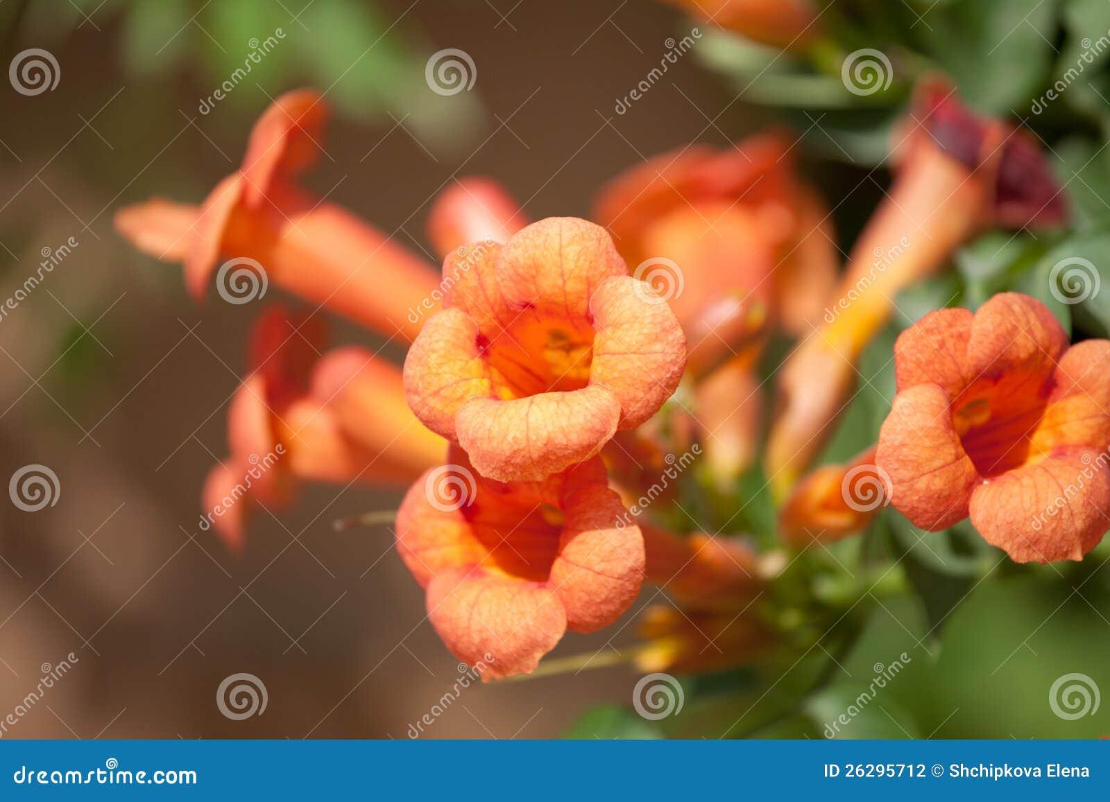 Fleurs De Vigne De Trompette Photo stock - Image du ...
