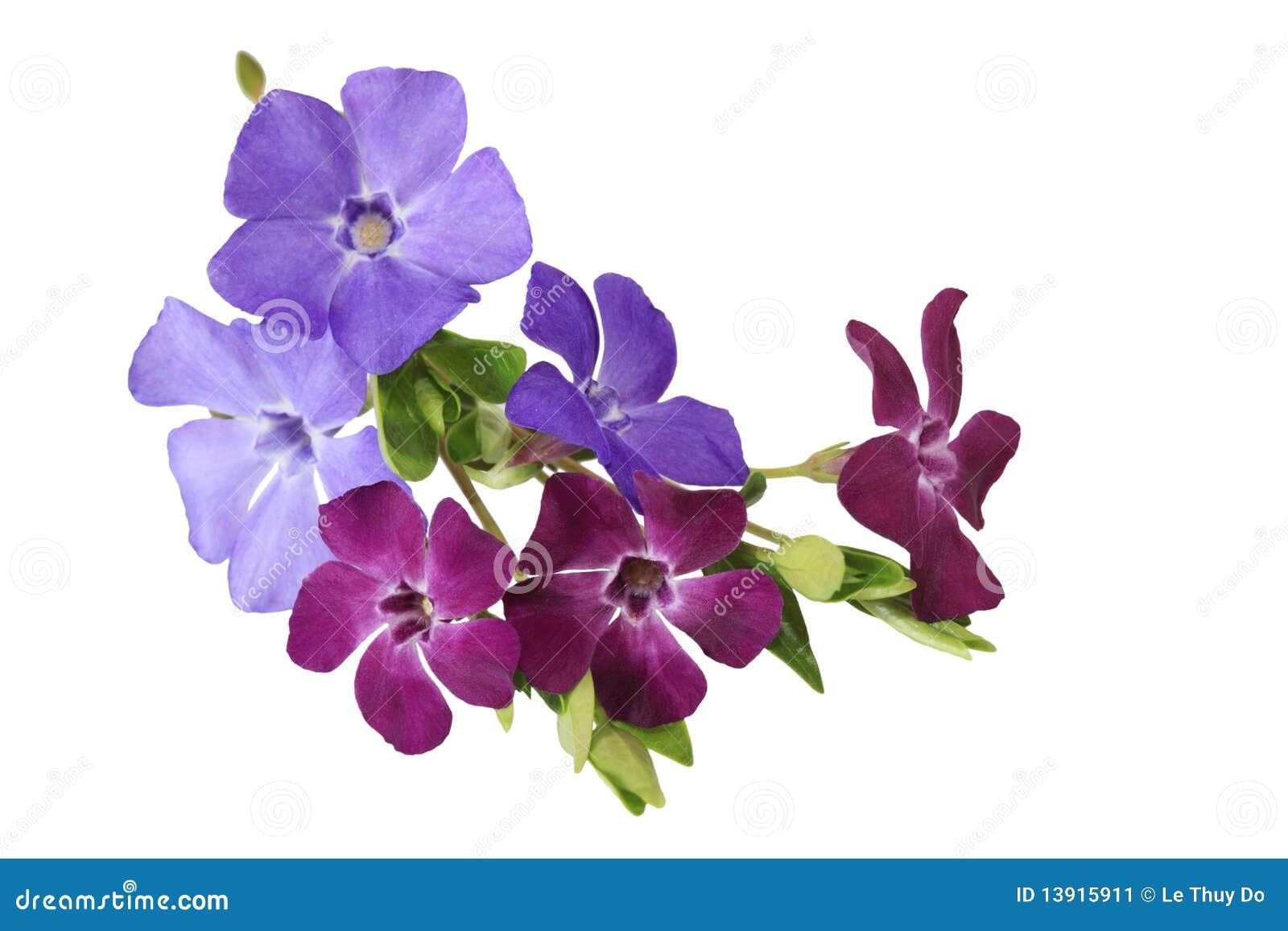 Fleurs de Vinca de Myrtle
