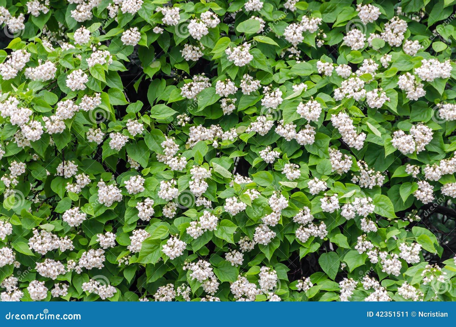 Fleurs des bignonioides de Catalpa Les noms communs incluent le catalpa du sud