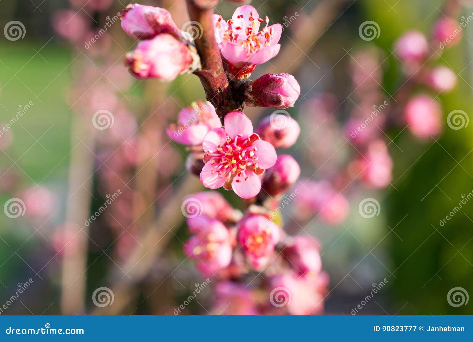 Fleurs Et Bourgeons De Pecher Image Stock Image Du Fleur Peche