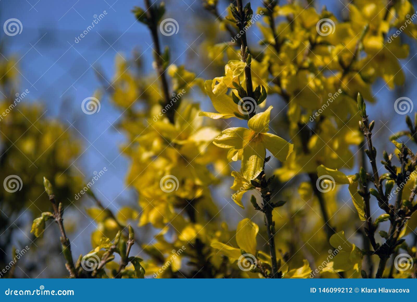 Fleurs et branches d intermedia de forsythia