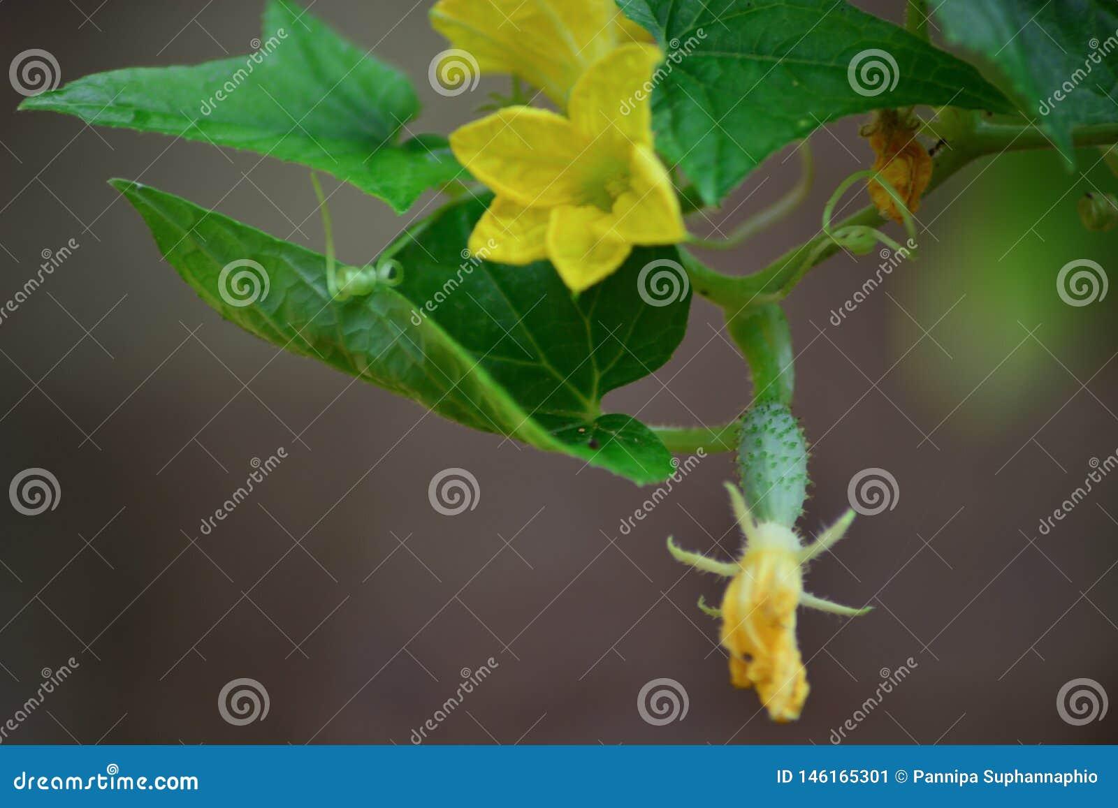 Fleurs et fruits de concombre cultiv?s dans le potager