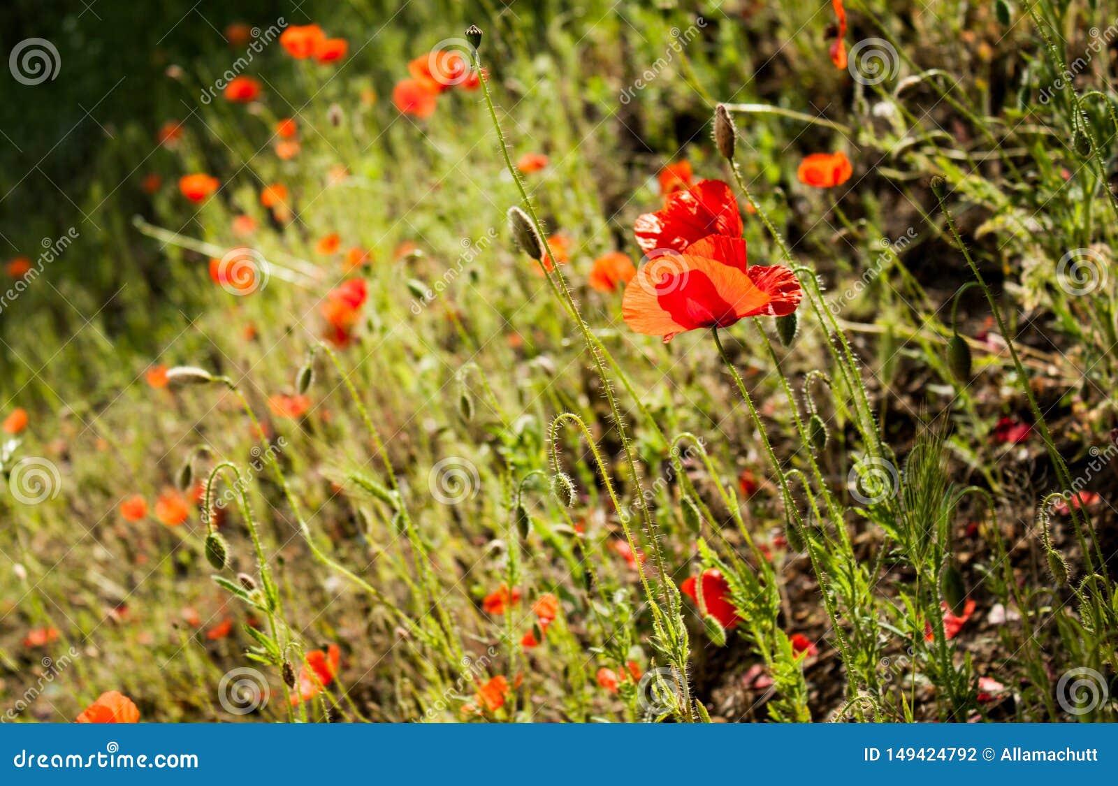 Fleurs et herbe de pavot